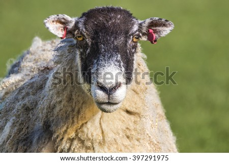 Head portrait of North of England Mule Sheep ewe staring straight ahead - stock photo