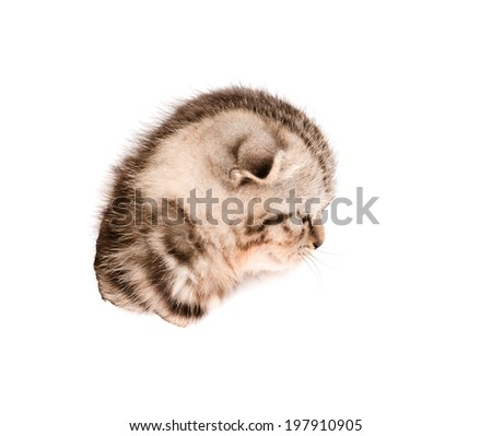 head scottish kitten in paper side torn hole. isolated on white background - stock photo