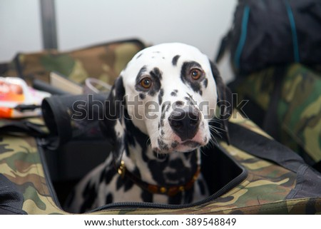 Head shot close up of a black and white dalmatian dog no purebred laying - stock photo