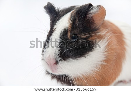 HEAD SHOT GUINEA PIG BABY OVER WHITE BACKGROUND.