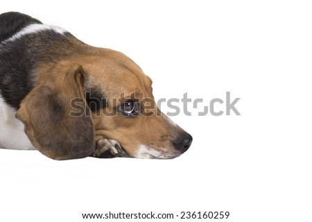 Head shot of a beagle with his head on the ground.  - stock photo