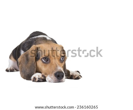 Head shot of a beagle with his head on the ground. Eyes are looking to his left - stock photo