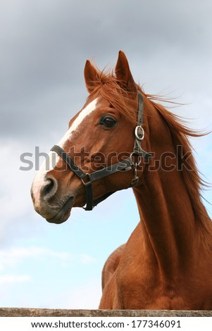 Head shot of a beautiful chestnut stallion at farm  - stock photo