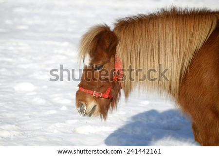 Head shot of a beautiful pony horse on a beautiful sunny day winter time. Pony looking out of the winter  corral - stock photo
