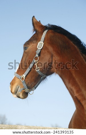 Head shot of a beautiful thoroughbred horse in winter pin fold rural scene as a background - stock photo