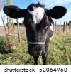 Head Shot of a Black & White Calf with Big Ears - stock photo