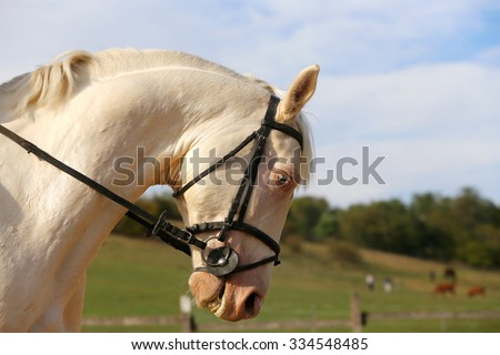 Head shot of a blue-eyed gray stallion on dressage training - stock photo