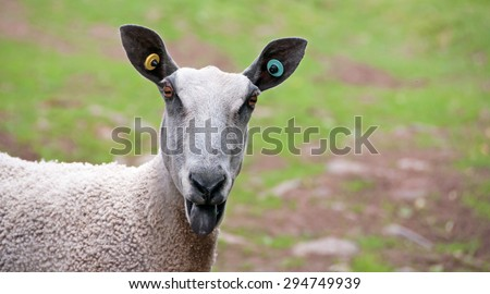 Head shot of a Bluefaced Leicester Sheep