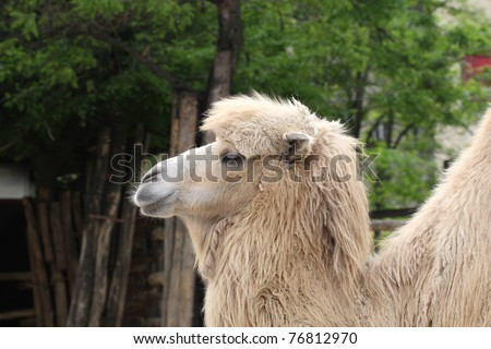 Head Shot of a Camel at a Zoo in Budapest, Hungary
