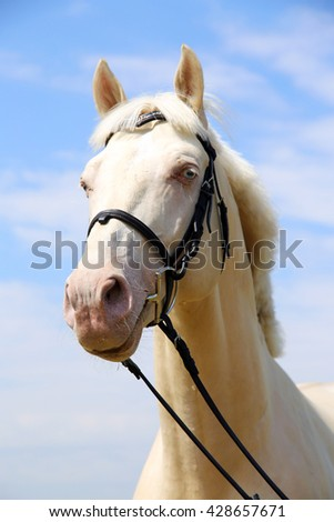 Head shot of a cremello horse with bridle against blue sky background
