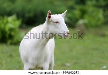 Head shot of a domestic young goat - stock photo
