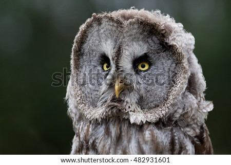 Head shot of a Great Grey Owl with a green foliage background.
