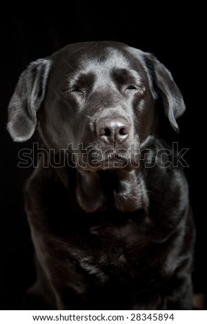 Head shot of a Labrodor Retriever isolated on black