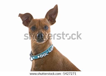 head-shot of a mixed breed Pinscher - stock photo