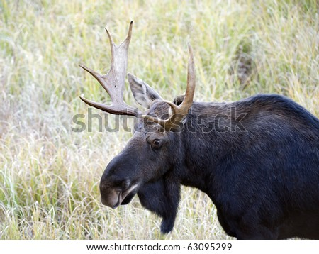 head shot of a moose in fall in algonquin park