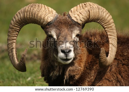 Head shot of a  MOUFLON - wild sheep - stock photo