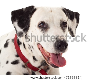 head shot of a panting dalmatian , over white - stock photo
