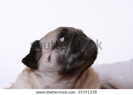 Head shot of a pug looking up and to one side.