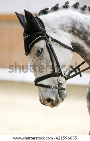 Head shot of a thoroughbred grey colored racehorse with beautiful trappings under saddle during training - stock photo