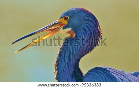 Head shot of a Tricolored Heron.