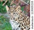 Head Shot of Adorable Baby Amur Leopard Cub Panthera Pardus Orientalis - stock photo