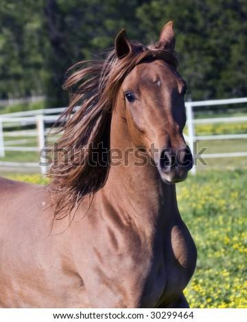 Head shot of an arabian horse running - stock photo