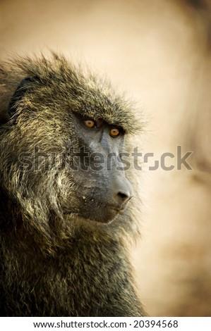 Head Shot of Baboon - stock photo