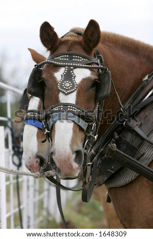 Head shot of Belgian Draft Horses in full harness, waiting to go (focus point on foreground horse).
