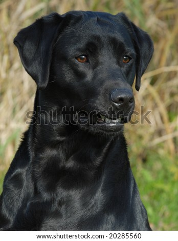 head shot of black labrador retriever working out in the field - stock photo