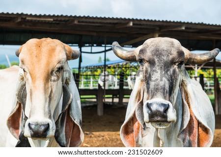 Head Shot of Brahman Cattle, Thailand. - stock photo