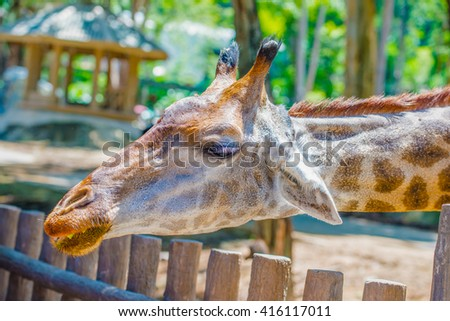Head shot of Giraffe, Thailand. - stock photo