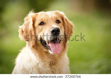 Head shot of Golden Retriever looking very interested - stock photo