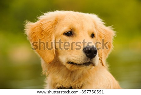 Head shot of Golden Retriever puppy