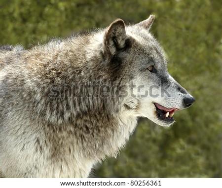 Head shot of grey wolf in Yellowstone - stock photo