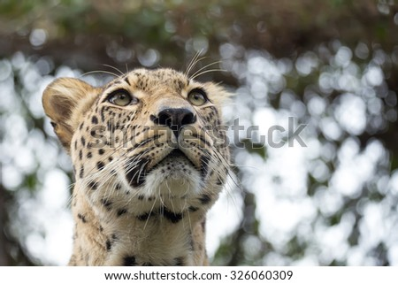 head shot of Persian leopard (Panthera pardus saxicolor), known as the Caucasian leopard - stock photo