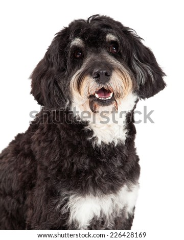 Head shot of Poodle Mix Breed Dog looking into the camera.  - stock photo