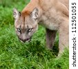 Head Shot of Puma with Beautiful Eyes Felis Concolor - stock photo