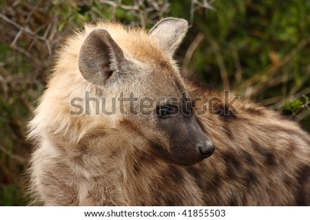 Head shot of Spotted Hyena from the side. - stock photo