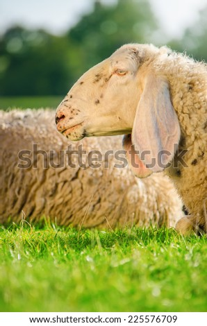 Head shot of the sheep resting on grass