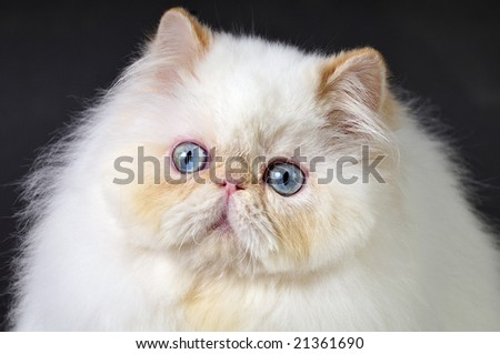 Head shot of white Persian cat