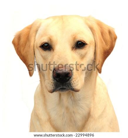 Head shot of yellow labrador - stock photo