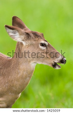 head shot of young white tail deer in cades cove in smoky mountains national park