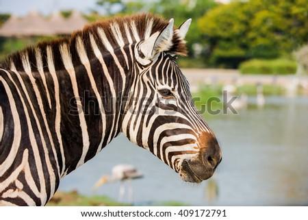 Head shot of Zebra - stock photo