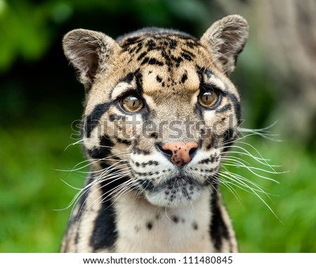 Head Shot Portrait of Beautiful Clouded Leopard Neofelis Nebulosa - stock photo