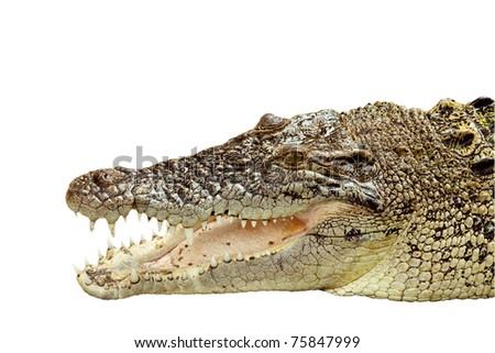 Head shot Thai crocodile in isolated background, Chonburi Thailand - stock photo