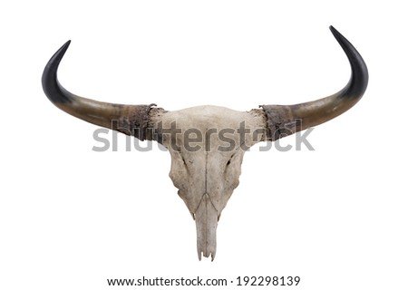 head skull of Banteng(Bos javanicus) isolated on white background - stock photo