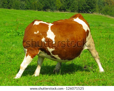 Headless cow on meadow. Funny moment. - stock photo