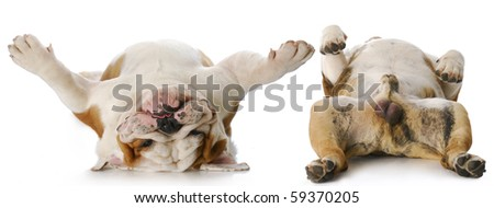 heads and tails of two english bulldog males laying on back with reflection on white background