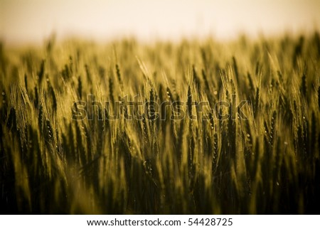 Heads of golden grain stretch out in fields at sundown - stock photo