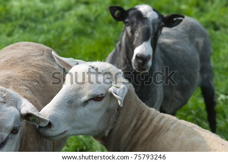 Heads of sheep in a meadow - stock photo